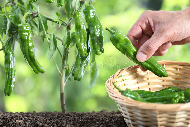 Hand picking green peppers with basket in vegetable garden, close up. Hand picking green peppers with basket in the vegetable garden, close up stock images