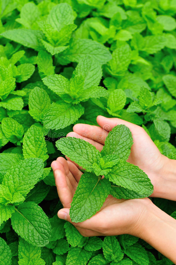 Hand picking mint. Leaf in field royalty free stock photos