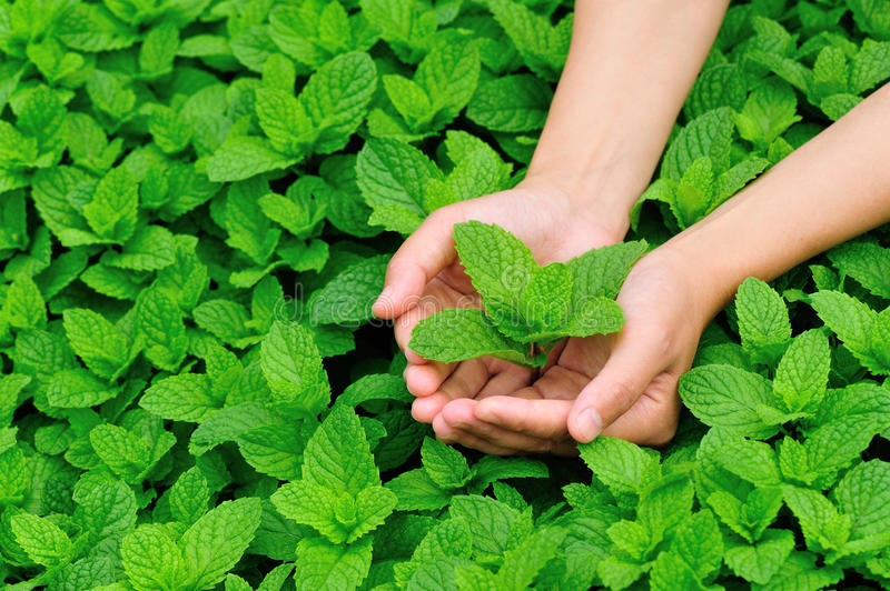 Hand picking mint. Leaf in field stock photography
