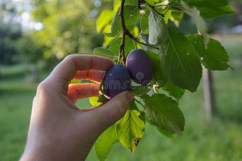 Hand picking plum. Woman hand picking plum on plum tree stock images
