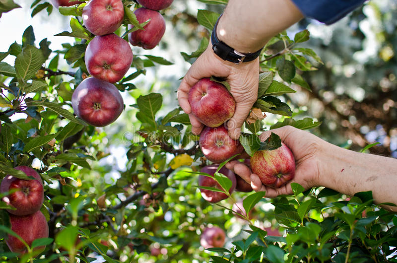 Hand picking the red apple. From the tree royalty free stock photo