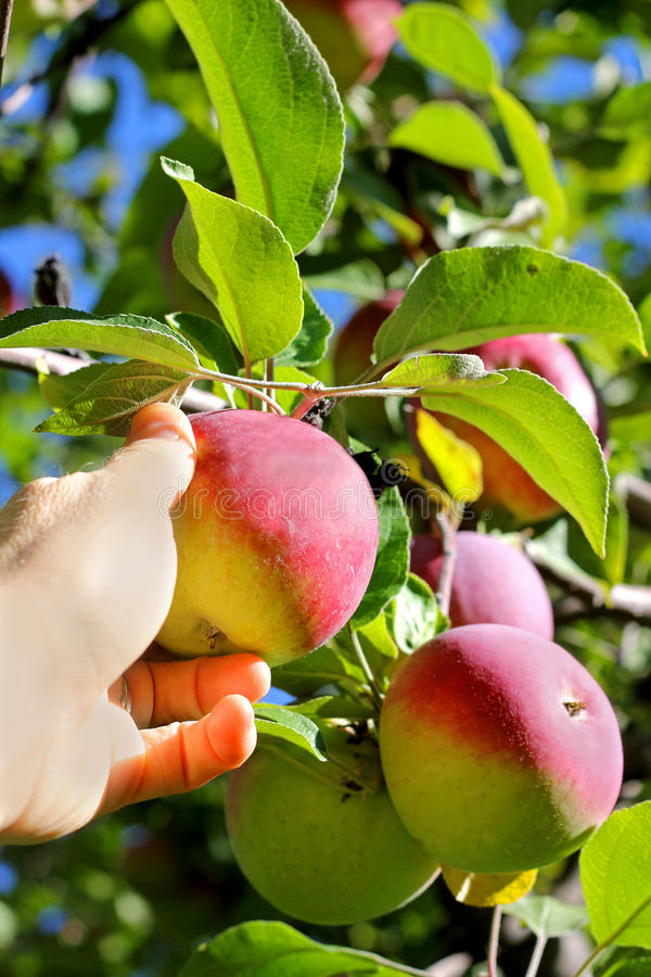 Hand Picking Ripe Fruit From Apple Tree. A woman's hand is reaching up into an apple tree and picking a fresh ripe Cortland Apple Fruit at an Orchard royalty free stock photos
