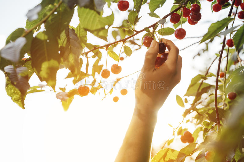 Hand picking a sweet cherry fruit in backlight. Hand picking a sweet cherry fruit from a tree with backlight sunlight during late afternoon stock photos