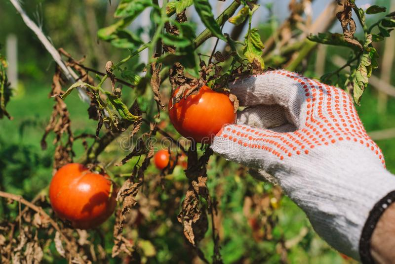 Hand picking tomato in organic vegetable garden royalty free stock photography