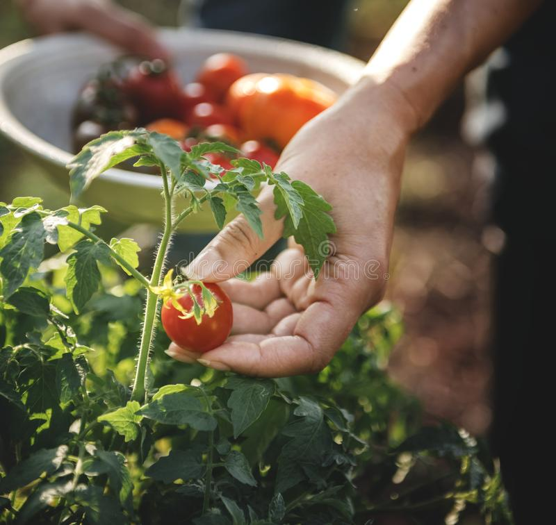 Hand picking tomatoes from the plant stock image