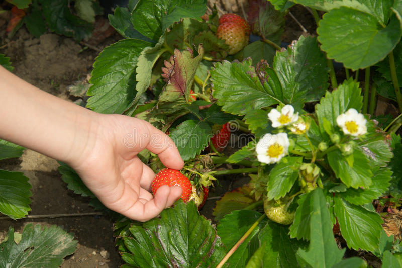Hand picking up strawberry on garden-bed. Strawberry field: kids' hand picking up a strawberry on a garden-bed, countryside strawberry plantation stock photography