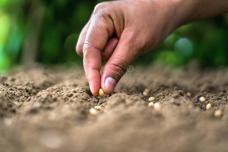 hand planting soy seed in the vegetable garden. agriculture concept royalty free stock photo