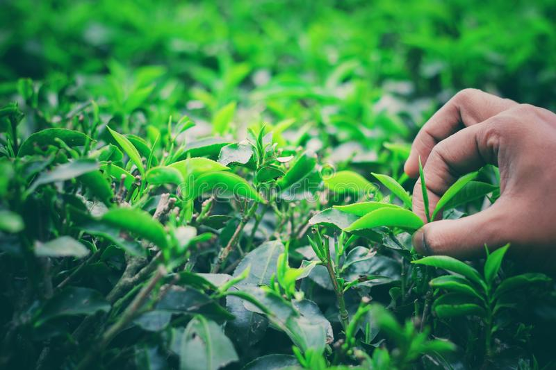 Hand plucking bud of tea leaves in a tea garden for organic white and green tea royalty free stock photography