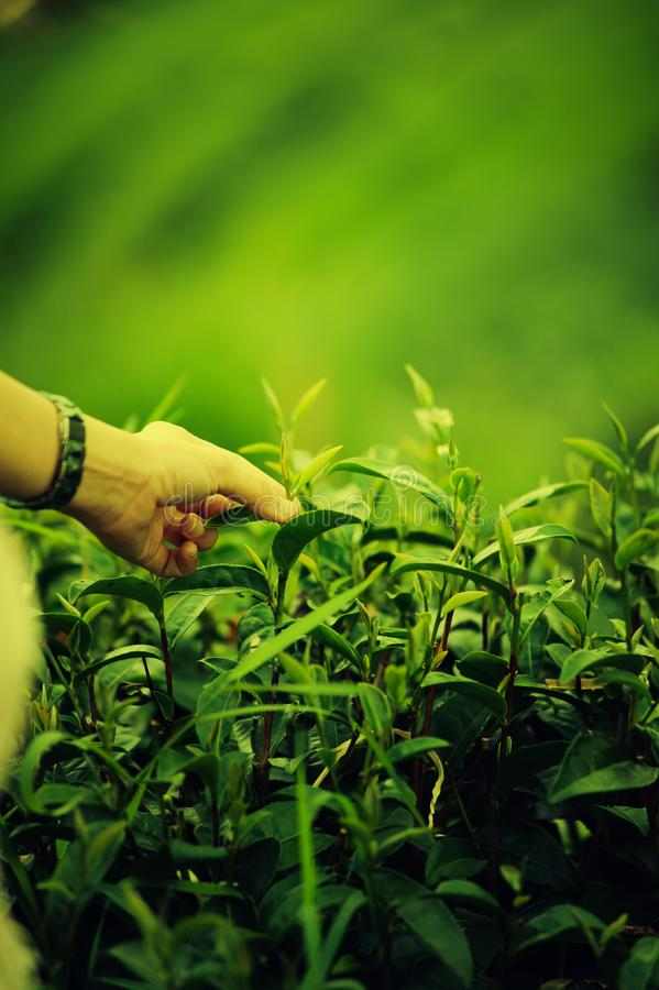 Hand plucking tea leaf on doi angkhang mountain in Thailand. Asian woman hand picking tea leaf in tea plantation, Angkhang mountain Chiangmai Thailand stock images