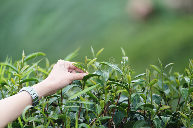 Hand plucking tea leaf on doi angkhang mountain in Thailand. Asian woman hand picking tea leaf in tea plantation, Angkhang mountain Chiangmai Thailand royalty free stock photo