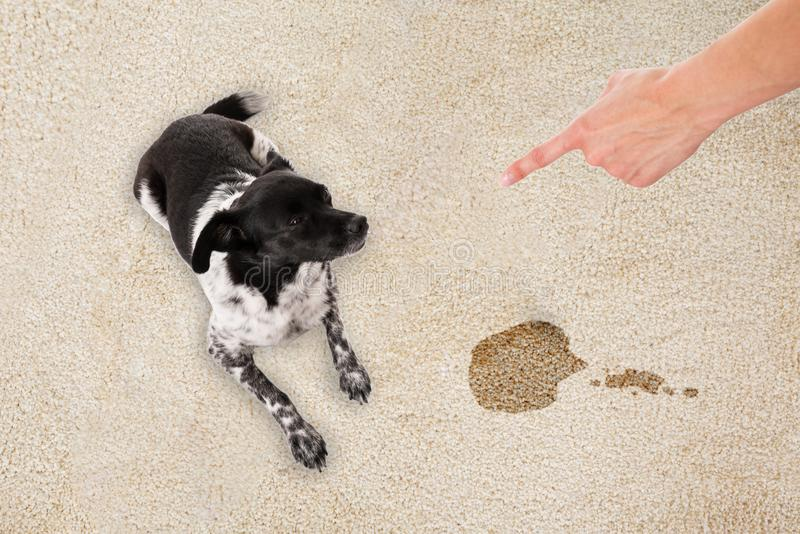 Hand Pointing Toward The Dog Sitting On Dirty Carpet royalty free stock image