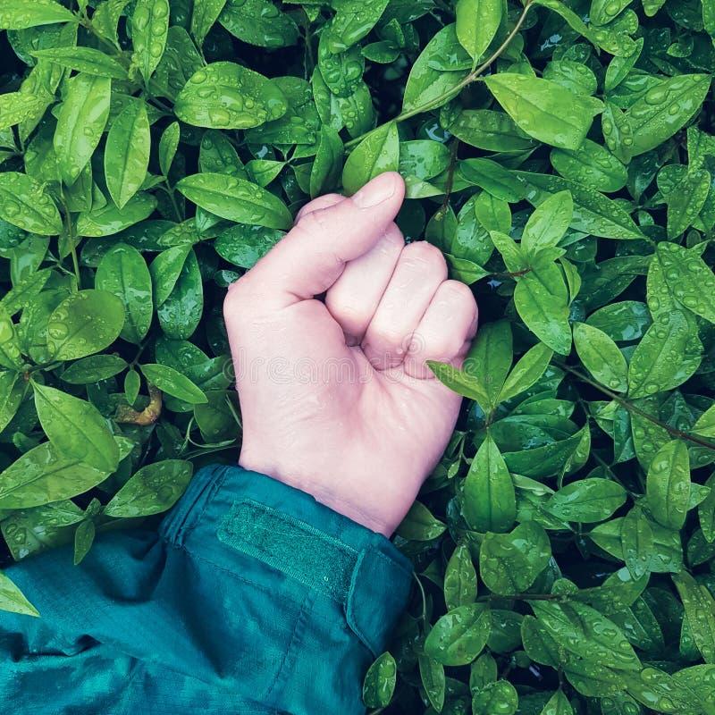 Hand preßte in den Lügen einer Faust auf grünen Blättern mit Regentropfen, Konzept der Konfrontation zwischen Menschlichkeit und  stockfotos