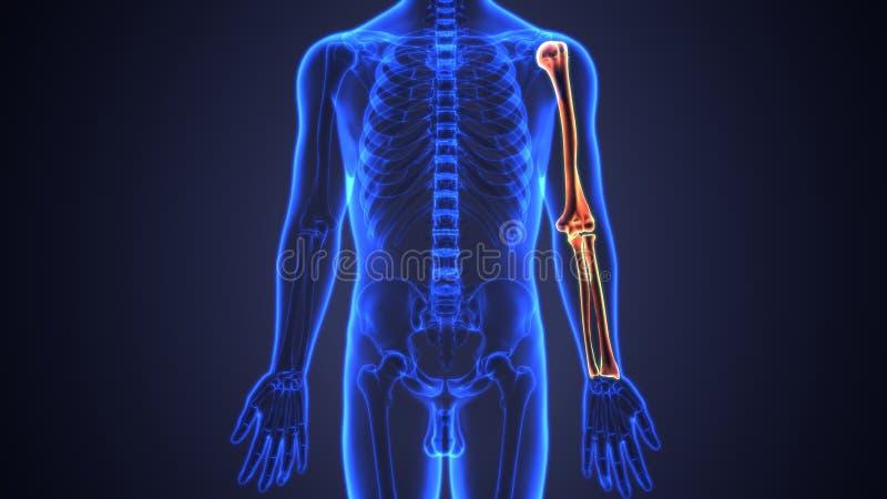 3d Illustration Of Skeleton Hand Bones Anatomy Stock Illustration ...