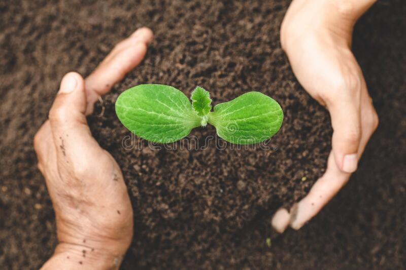 Hand protects seedlings that are growing, Environment Earth Day In the hands of trees growing seedlings, reduce global warming, stock photo
