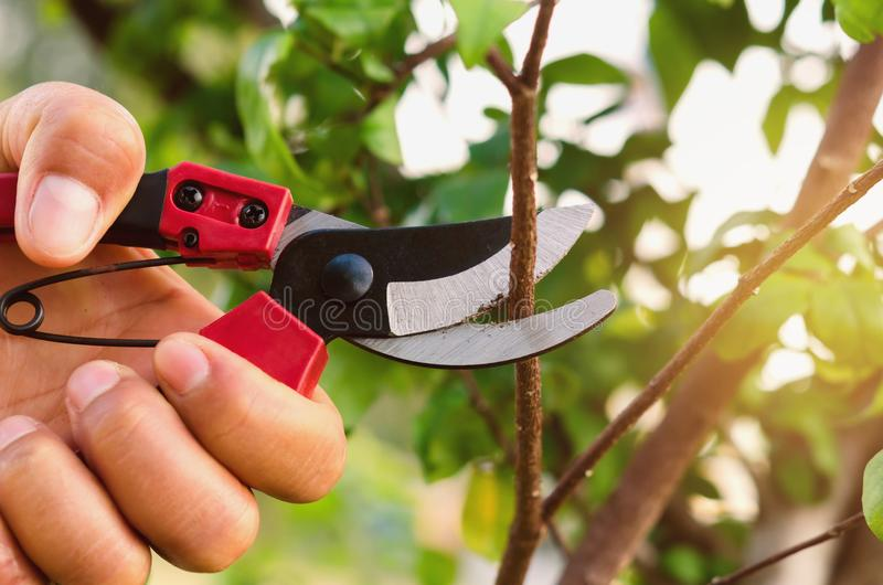 Hand pruning tree and pruning shear. In garden royalty free stock photo