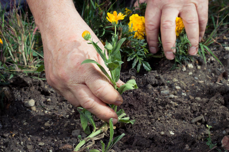 Hand pull out picking weeds royalty free stock photography
