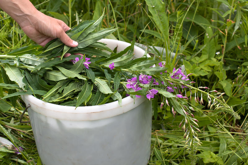 Hand putting willow-herb (Ivan-tea) in the bucket. During gathering royalty free stock photo