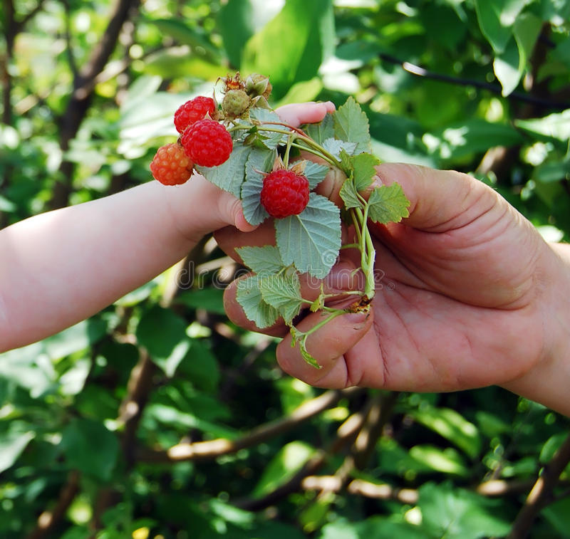 Download Hand Reaches For A Raspberry. Stock Image - Image: 16280865
