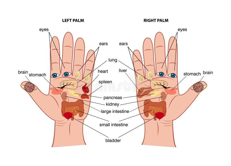 Hand reflexology chart vector illustration