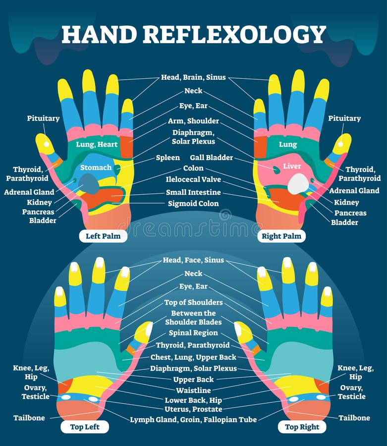 Hand reflexology massage therapy medical vector illustration chart. Human well being system. Inner organs and glands diagram. vector illustration