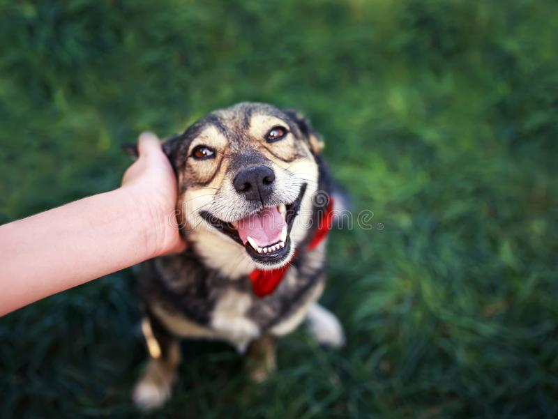 Human hand rubs behind the ear cute brown dog in the elegant red butterfly smiling pretty royalty free stock photo