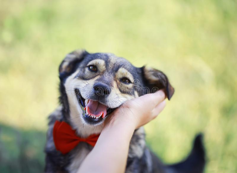 hand rubs behind the ear cute brown dog in the elegant red butterfly smiling pretty royalty free stock image