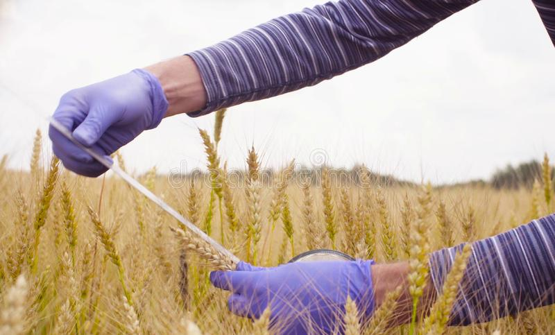 Hand of scientist ecologist measuring wheat ear. Close up hands of the man scientist environmentalist exploring wheat. He is measuring wheat ear royalty free stock photo