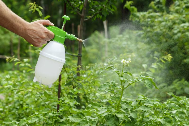The hand and the scraper are close-up. Spraying plants in the garden and vegetable garden with a protective spray. Protection of royalty free stock image