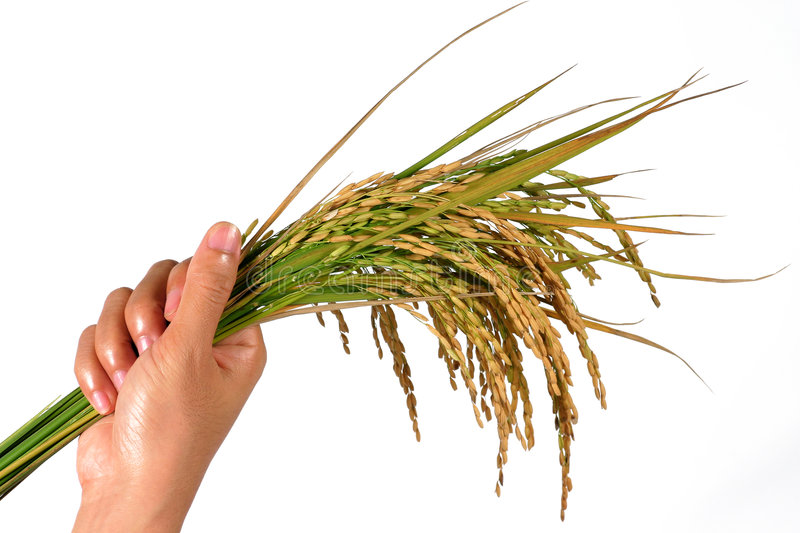 Hand and a sheaf of rice. Hand's holding a sheaf of rice plants. concept for crop setting stock images