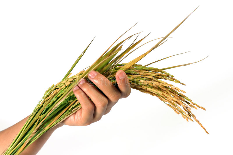 Hand and a sheaf of rice. Hand's holding a sheaf of rice plants. concept for crop setting stock photography