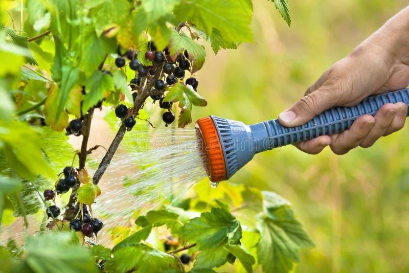 Hand som bevattnar den svarta vinbäret i trädgården arkivbild