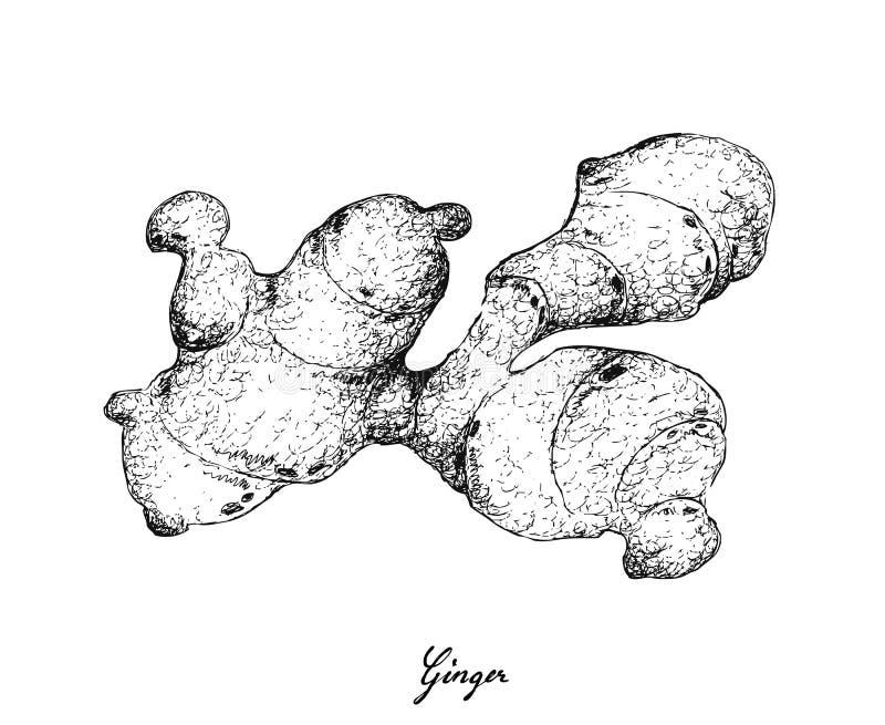 Hand som dras av Ginger Root på vit bakgrund stock illustrationer