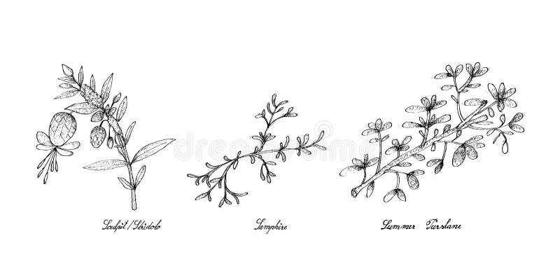 Hand som dras av Sculpit eller Stridolo, Samphire och sommarPurslane royaltyfri illustrationer
