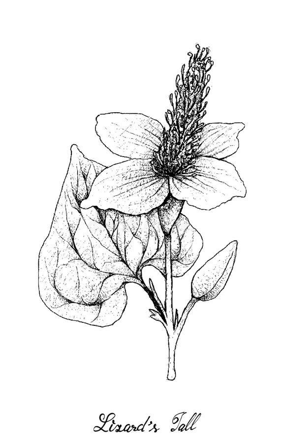 Hand som dras av växten för svans för ödla` s på vit bakgrund vektor illustrationer