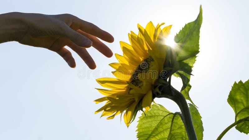 Hand som når in mot en bakbelyst solros arkivbilder
