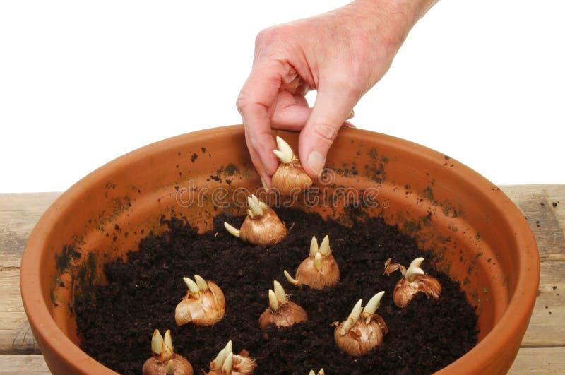 Hand som planterar kulor arkivfoton
