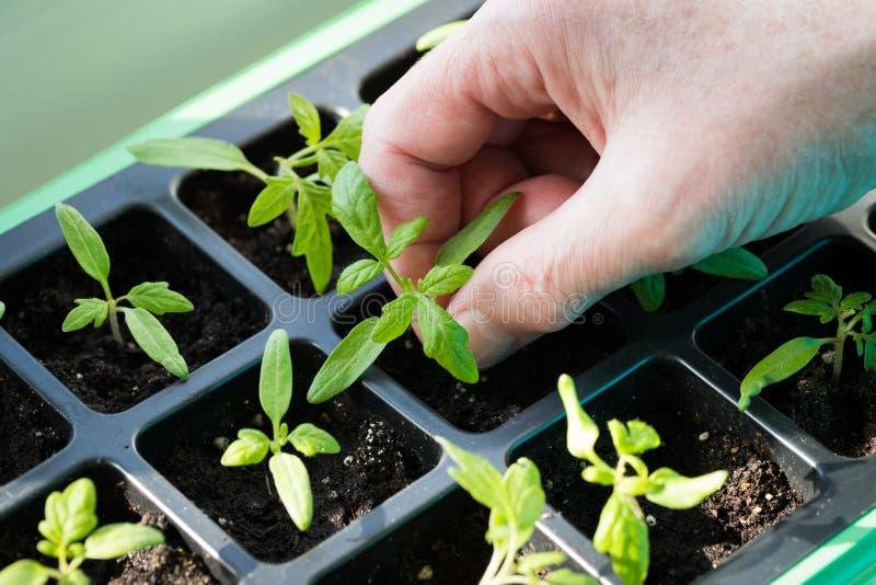Hand som rymmer den lilla gröna groddplantan av tomaten arkivbild