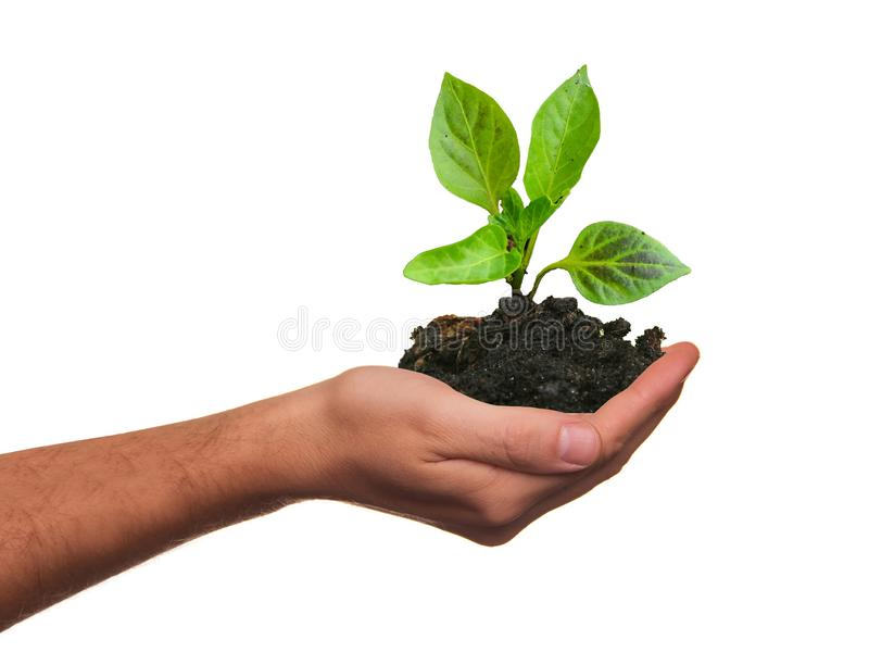 Hand som rymmer den unga växten, och isolerad jord Begrepp av omsorg eller växande utveckling royaltyfria foton