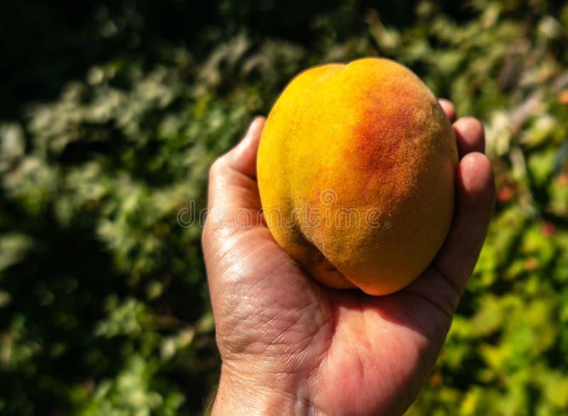 Hand som rymmer en mogen persika, royaltyfria foton