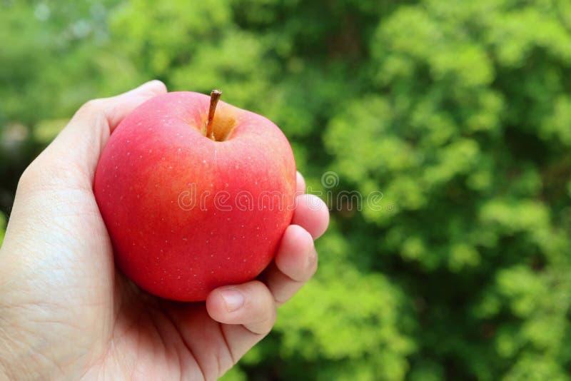 Hand som rymmer ett nytt moget rött äpple mot vibrerande grön lövverk royaltyfri bild