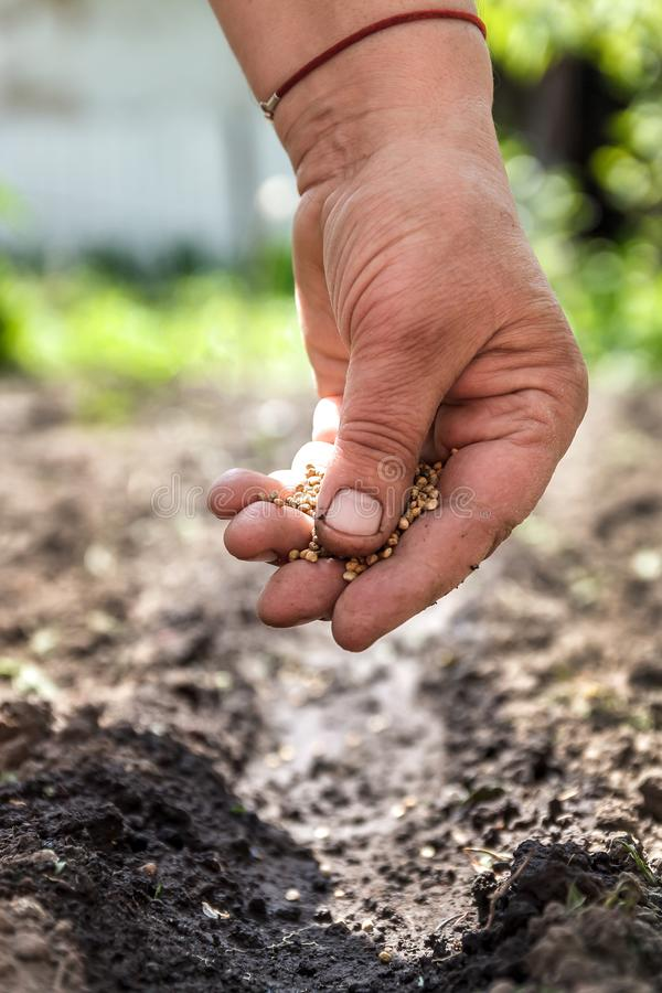 A hand sowing seeds into the soil.  royalty free stock photo