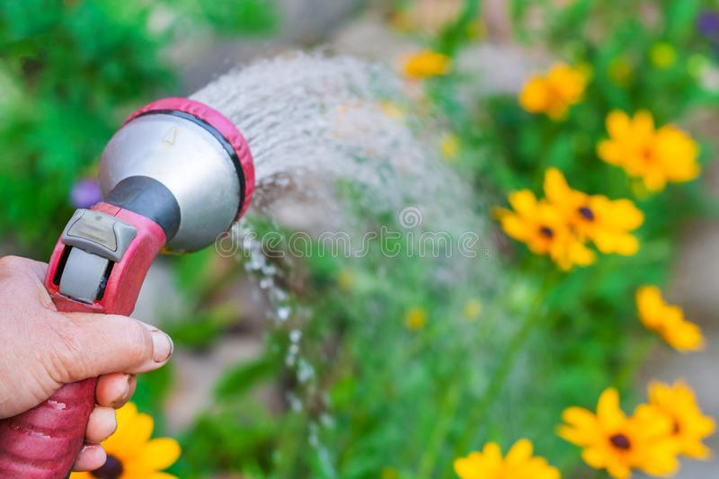 A hand with spray gun, watering a yellow flowers. Close up view on a hand with spray gun, watering a yellow flowers in garden shallow depth of field stock photo