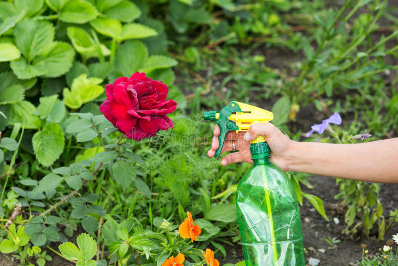 Hand squirting a solution of rose aphid royalty free stock images