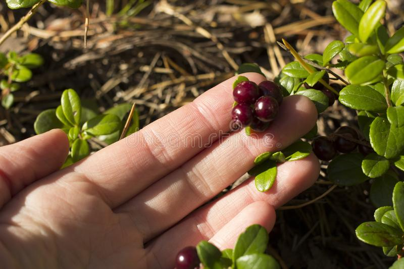 Hand take coweberry in autumn forest stock image