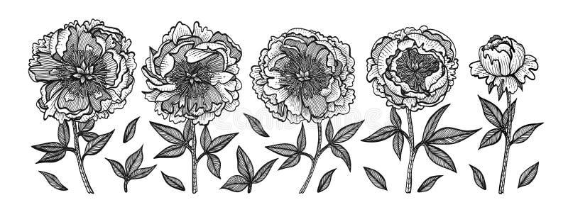 Hand-trekkende pioenen Uitstekende vectorgravureillustratie Geïsoleerdj op witte achtergrond Ontwerpelementen voor uitnodigingen, royalty-vrije illustratie