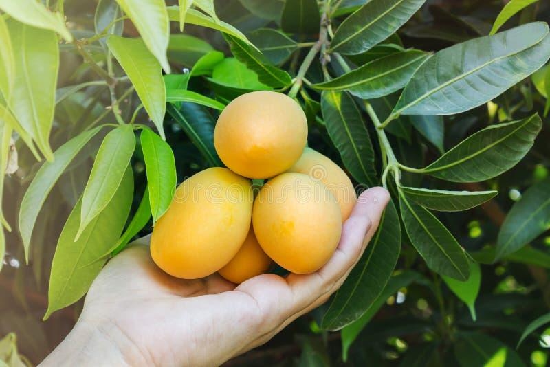 Hand- und Mangopflaume trägt unter Baumgartenansicht Früchte stockbild