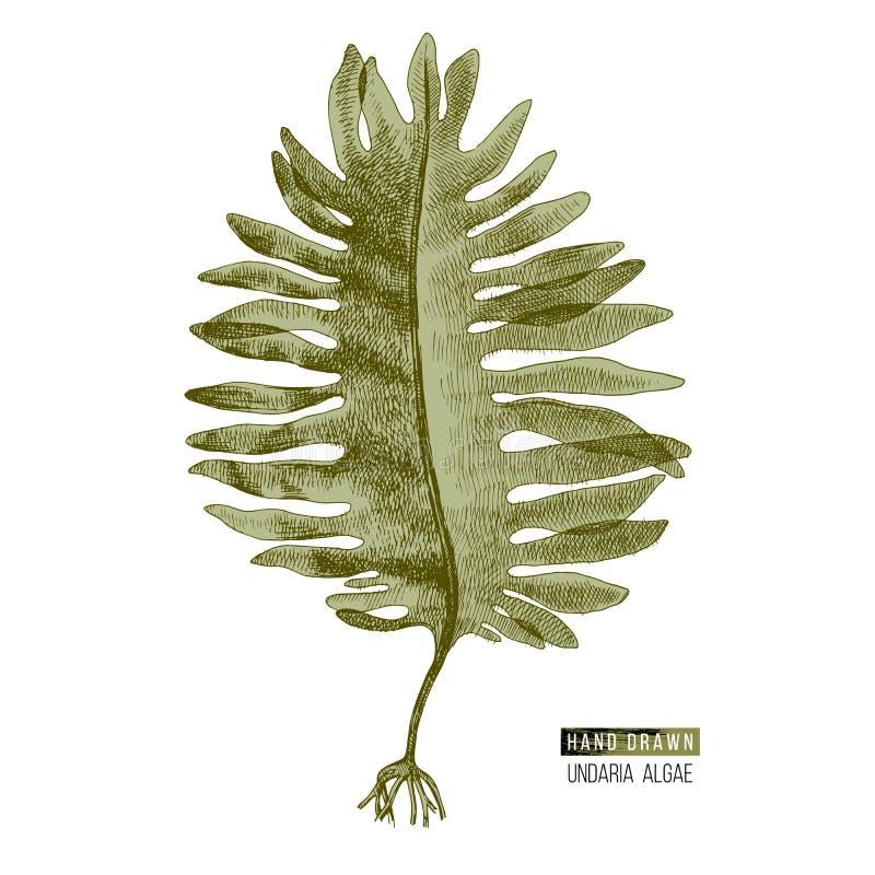 Hand utdragen Wakame eller Undaria Pinnatifida alg stock illustrationer