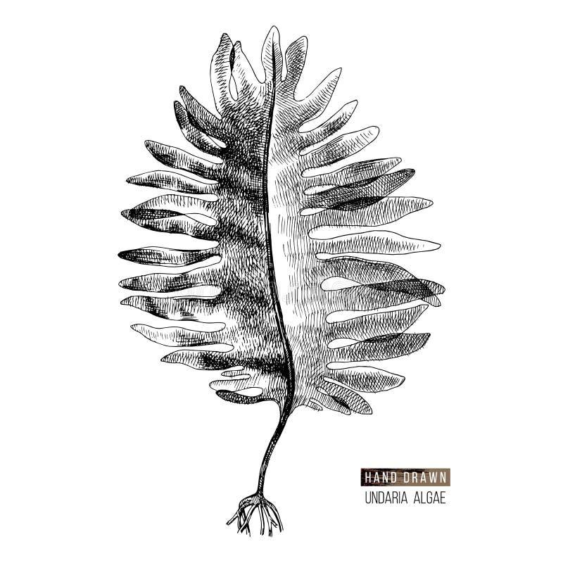 Hand utdragen Wakame eller Undaria Pinnatifida alg royaltyfri illustrationer