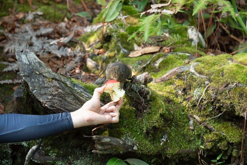 Hand van de mens met verse de grondeekhoorn van het appelvoer in de wildernis van het nationale park van Kinabalu, Maleisi? stock afbeeldingen