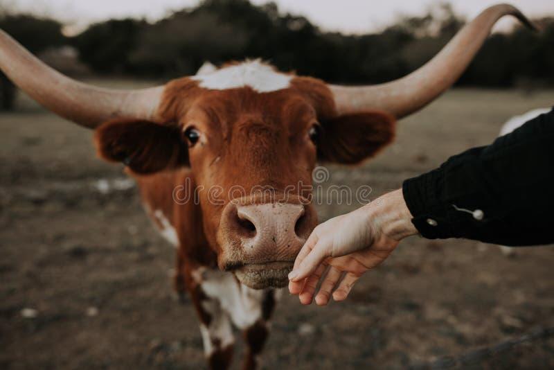 Hand van de persoon de petting neus van een leuke koe schoot van omhoog dicht op een gebied stock afbeelding